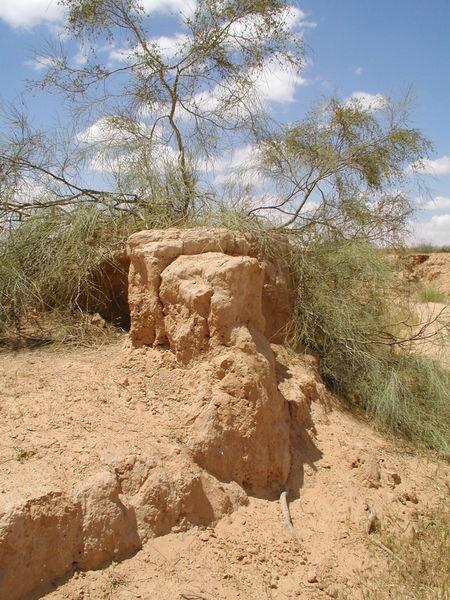 پرونده:Tamarix aphylla.jpg