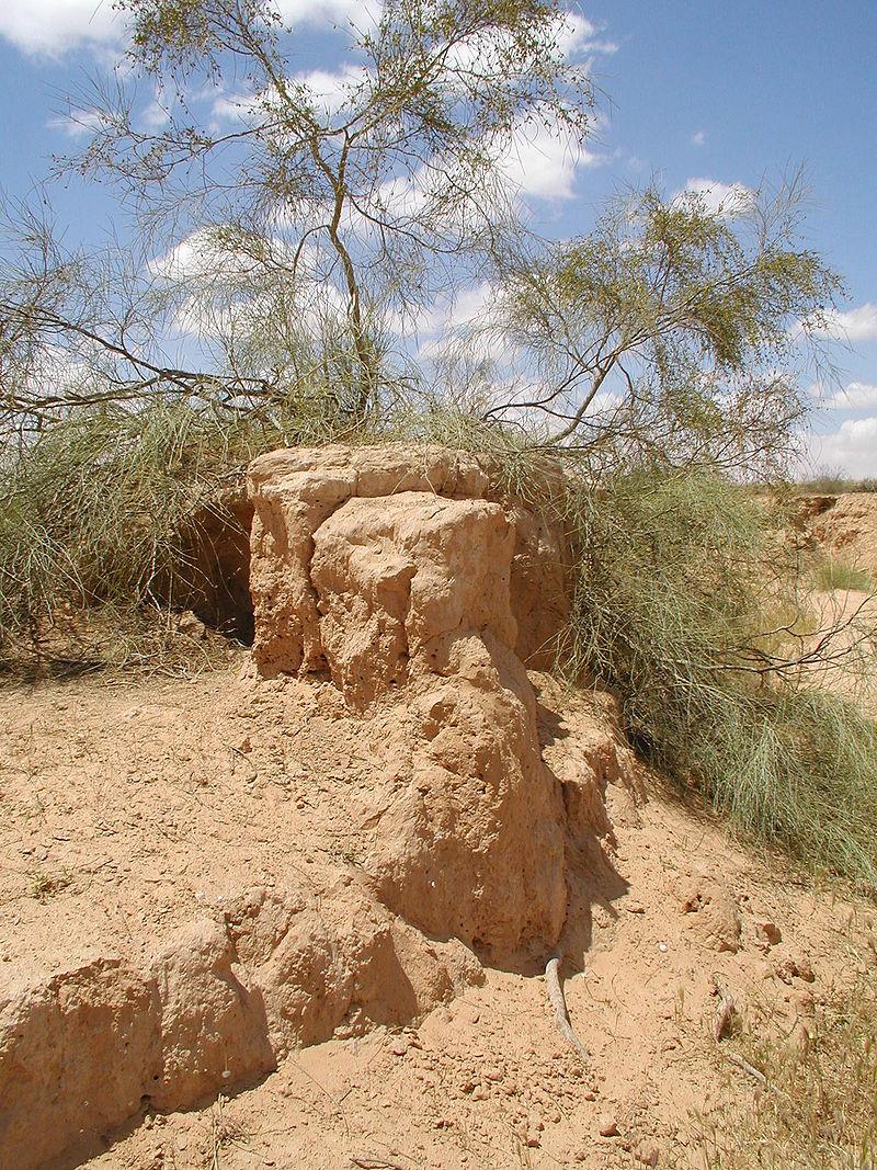 Tamarix aphylla.jpg