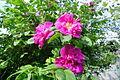 Tea-rose pink flowers.JPG