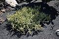Teguise Guatiza - Jardin - Euphorbia griseola 04 ies.jpg