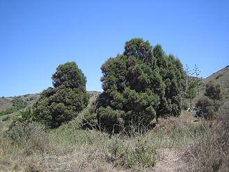Cartagena, Spain - Tetraclinis articulata.
