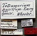 Tetramorium caldarium casent0003150 label 1.jpg