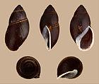 Thaumastus magnificus 01.JPG