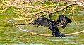 The Cormorant.jpg