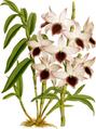 The Orchid Album-01-0062-0020-Dendrobium ainsworthii roseum-crop.png