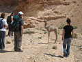 The baby camel let us get close, but the mommie camel wasn't so happy with us (3497768712).jpg