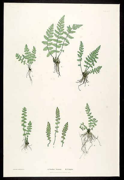 File:The ferns of Great Britain and Ireland (Plate XLVII) BHL302011.jpg