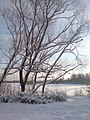 The poplars near Kiovo lake. January 1 2010. - Тополя возле озера Киово. 1 Января 2010. - panoramio.jpg