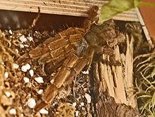 Theraphosidae - Haplopelma schmidti.JPG