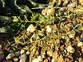 Thesium ramosum sl43.jpg