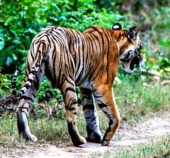 This tiger.jpg
