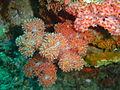 Thistle soft coral at Batfish pinnacle dsc04309.jpg