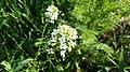 Thlaspi arvense, flowering plant in Yerevan 02.jpg