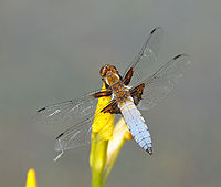 Thomas Bresson - Libellula depressa (by).jpg