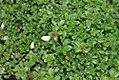 Thymus Roseum 0zz.jpg