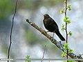 Tibetan Blackbird (Turdus maximus), Hunza, Pakistan (20231645074).jpg