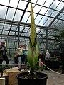 Titanenwurz im Botanischen Garten der Ruhr-Universität Bochum.jpg