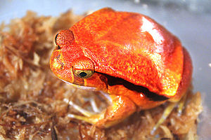 The Trials of Life - The tomato frog (genus Dyscophus) secretes a harmful substance when threatened.