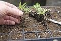 Tomato seedlings (464355129).jpg