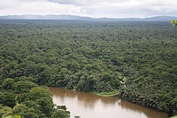 Tortuguero Palm Forests.JPG