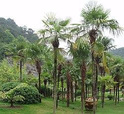 TrachycarpusFortunei.jpg