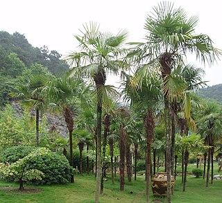 <i>Trachycarpus fortunei</i> species of plant