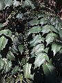 Trauttmansdorff gardens - Mahonia lomariifolia 02.JPG