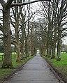 Tree-lined driveway, Mount Edgcumbe Park - geograph.org.uk - 347552.jpg