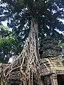 Tree in Ta Prohm.jpg