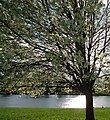 Tree near lake in Nomahegan Park NJ.jpg