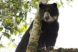 Un ours à lunettes