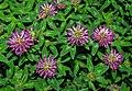 TrifoliumMedium2.jpg