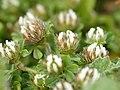 Trifolium cherleri (flower heads).jpg
