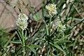 Trifolium montanum (7315222844).jpg