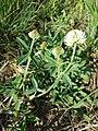 Trifolium montanum (subsp. montanum) sl4.jpg