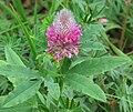 Trifolium rubens 2 RF.jpg