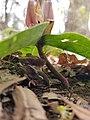 Trillium reliquum decumbent scape.jpg