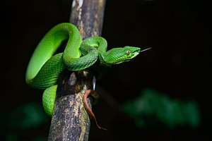 Trimeresurus - Image: Trimeresurus fucatus, Banded pit viper