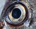 Trisopterus luscus eye.jpg