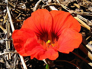 The flower of the nasturtium plant, Tropaeolum