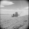 Tule Lake Relocation Center, Newell, California. A crew operating an onion planter on the evacuee f . . . - NARA - 538250.tif