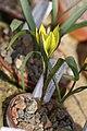 Tulipa heteropetala 02.jpg