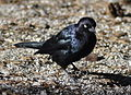 Tuolumne Meadows - Brewer's Blackbird - 1.JPG
