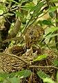 Turdus philomelos -New Zealand -nest-8 (3).jpg