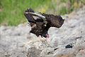 Turkey Vulture IMG 5876.jpg
