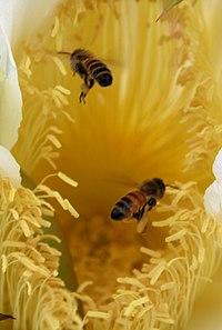 Two honey bees are collecting pollen from Nightblooming cereus