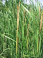 Typha angustifolia 4-eheep (5098005620).jpg