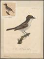 Tyrannus carolinensis - 1825-1834 - Print - Iconographia Zoologica - Special Collections University of Amsterdam - UBA01 IZ16500359.tif