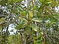 Ubah Mempoyan (Syzygium multibracteolatum) leaves (15580839138).jpg