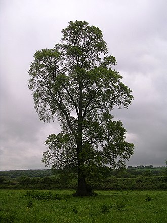 East Coker - Image: Ulmus minor tree